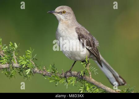 Volwassen Spotlijster, Adult Northern Mockingbird - Stock Photo