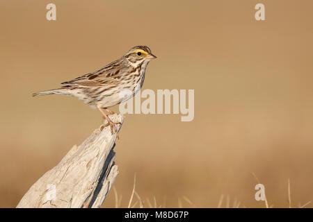 Savannahgors; Savannah Sparrow - Stock Photo