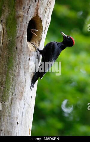 Voerende Zwarte Specht; Feeding Black Woodpecker - Stock Photo