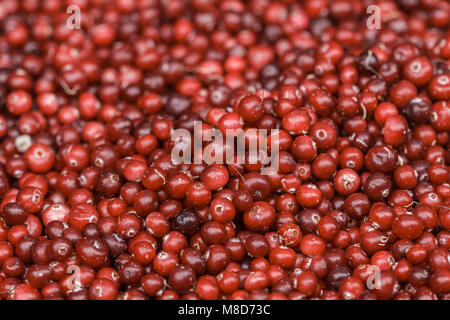 Fresh ripe red cranberries closeup. Culinary background. Selective focus - Stock Photo