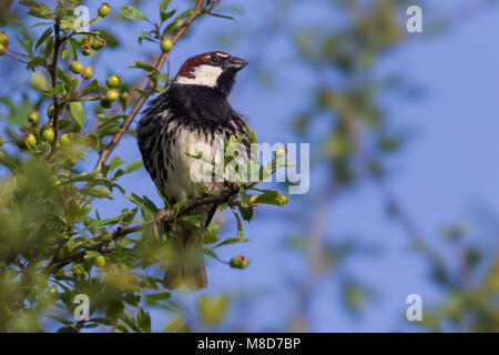 Spanish sparrow perched - Stock Photo