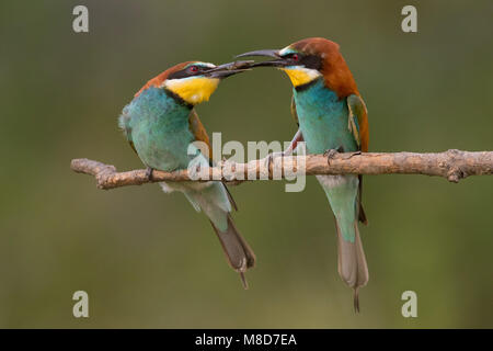 Bee eater pair courtship feeding - Stock Photo