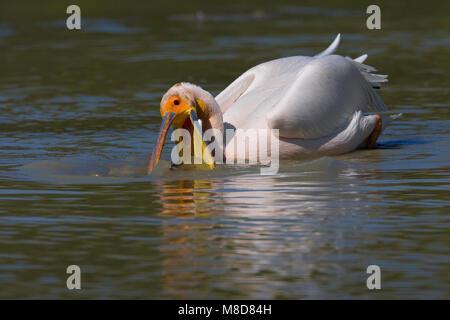 Foeragerende volwassen Roze Pelikaan; Foraging adult Great White Pelican - Stock Photo