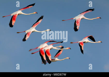 Flamingo's in de vlucht; Greater Flamingos in flight - Stock Photo