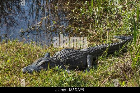 Aligator basking at sun along Shark Valley trail, Everglades National Park - Stock Photo