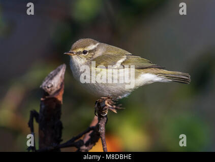 Humes Bladkoning; Hume's Leaf Warbler - Stock Photo