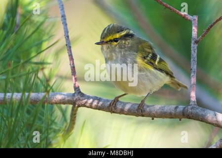 Pallas' Boszanger; Pallas's Leaf Warbler - Stock Photo