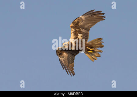 Vrouwtje Bruine kiekendief in de vlucht; Female Western Marsh Harrier in flight - Stock Photo