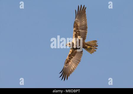 Vrouwtje Bruine kiekendief in de vlucht; Female Western Marsh Harrier in flight - Stock Photo