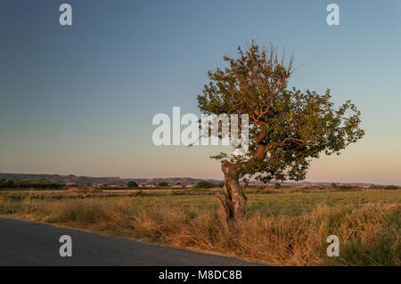 The sun casts it's golden light on a lone stunted tree at sunrise in the Mediterranean. Stock Photo