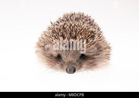 Front part of hedgehog on a white - studio shot - Stock Photo