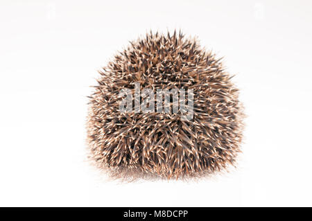 Back of a hedgehog on white background - Stock Photo