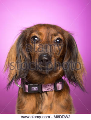 Red-Brown miniature dachshund close-up against purple studio background - Stock Photo