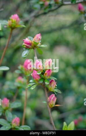 Budding azalea bushes in the early spring - Stock Photo