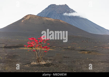 Red leaves growing on tree by volcano, Fogo, Cape Verde, Africa - Stock Photo