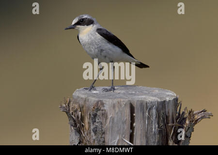 Tapuit man zittend; Northern Wheatear male perched - Stock Photo