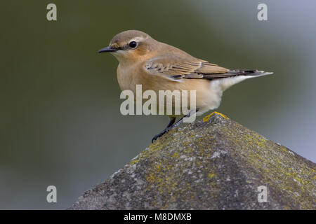 Onvolwassen Tapuit zittend op een steen; Immature Northern Wheatear perched on a rock - Stock Photo