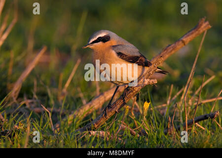 Mannetje Tapuit; Male Northern Wheatear - Stock Photo