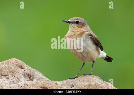 Vrouwtje Tapuit; Female Northern Wheatear - Stock Photo