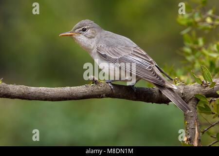 Griekse Spotvogel zittend op tak; Olive-tree Warbler perched on branch - Stock Photo