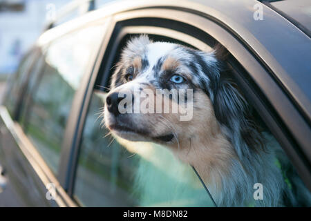 Blue eyed dog looking out from car window, portrait - Stock Photo