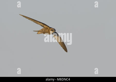 Pallid Swift flying; Vale Gierzwaluw vliegend - Stock Photo