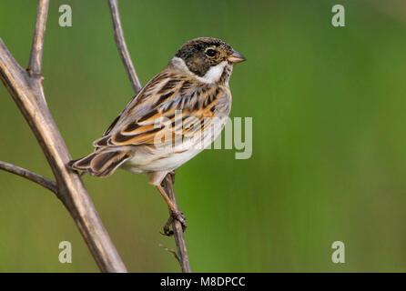 Rietgors, Common Reed Bunting, Emberiza schoeniclus - Stock Photo