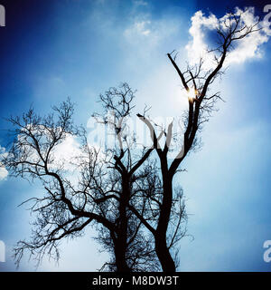 Ash tree (Fraxinus sp.) against blue sky, Auvergne, France, Europe - Stock Photo