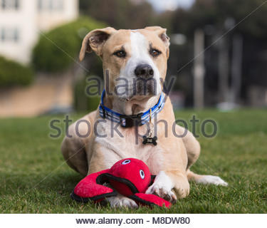 White and tan pitfall mix lying on grass with its paw resting on a stuffed red lobster toy - Stock Photo