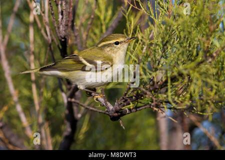 Bladkoning; Yellow-browed Warbler; Phylloscopus inornatus - Stock Photo