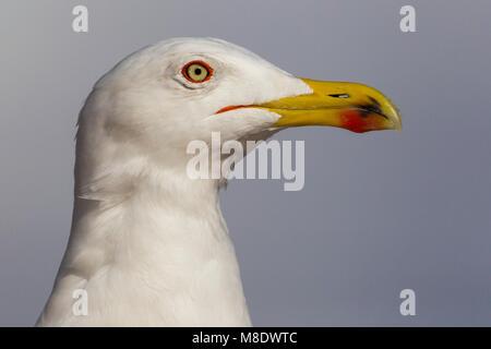 Geelpootmeeuw; Yellow-legged Gull; Larus michahellis - Stock Photo