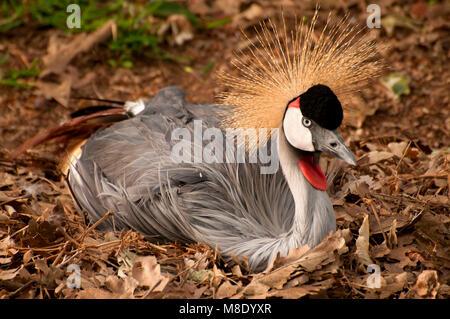 East African crowned crane (Balearica pavonina gibbericeps) on nest, San Diego Zoo Safari Park, San Diego County, - Stock Photo