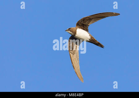 Alpengierzwaluw in de vlucht; Alpine Swift in flight - Stock Photo