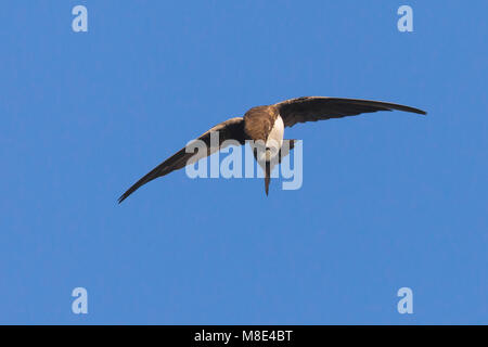 Alpengierzwaluw poetsend in de vlucht; Alpine Swift preening in flight - Stock Photo