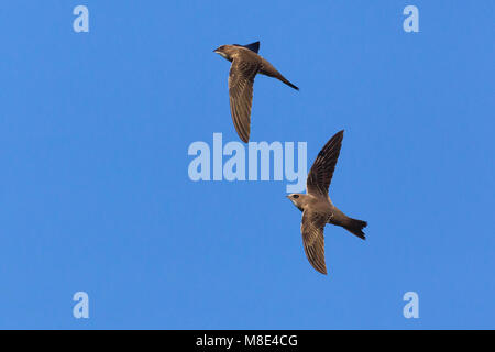 twee Alpengierzwaluwen in de vlucht; Two Alpine Swifts in flight - Stock Photo