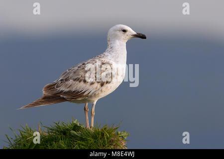 Onvolwassen Armeense Meeuw, Immature Armenian Gull - Stock Photo