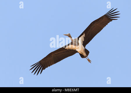 Juveniele Zwarte Ooievaar in de vlucht; Juvenile Black Stork in flight - Stock Photo
