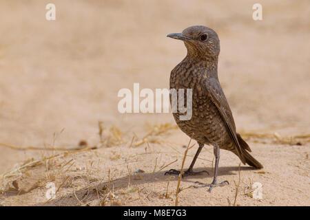 Passero solitario; Blue Rock Thrush; Monticola solitarius