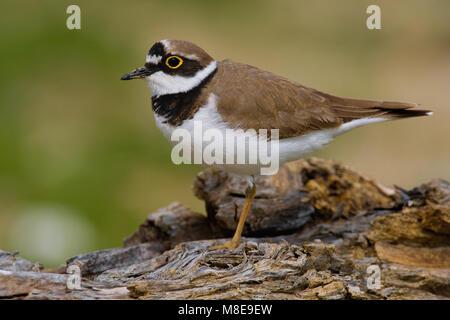 Volwassen Kleine Plevier; Adult Little Ringed Plover - Stock Photo