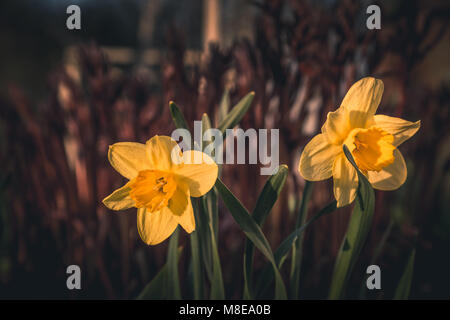Yellow Daffodil flowers or narcissus in the sunlight on reddish background. The perfect image for spring background, - Stock Photo