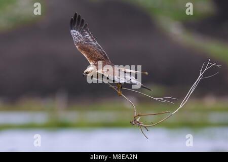 Mannetje Bruine Kiekendief in de vlucht met nestmateriaal; Male Marsh Harrier in flight with nesting material - Stock Photo