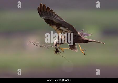 Vrouwtje Bruine Kiekendief in de vlucht met nestmateriaal; Female Marsh Harrier in flight with nesting material - Stock Photo