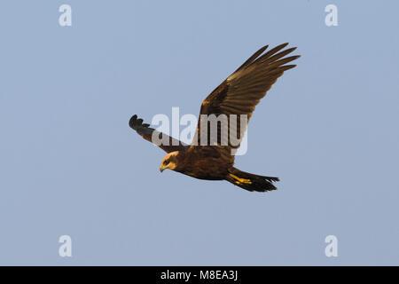 Bruine Kiekendief vrouwtje vliegend; Western Marsh Harrier female flying - Stock Photo