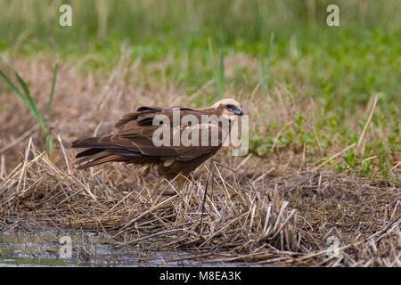Bruine Kiekendief vrouwtje zittend in gras; Western Marsh Harrier female perched in gras - Stock Photo