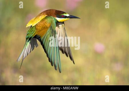 Europese Bijeneter in vlucht; European Bee-eater in flight - Stock Photo