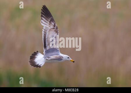 Armeense Meeuw in vlucht; Armenian Gull (Larus armenicus) in flight - Stock Photo
