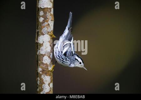 Bonte Zanger, Black-and-white Warbler - Stock Photo