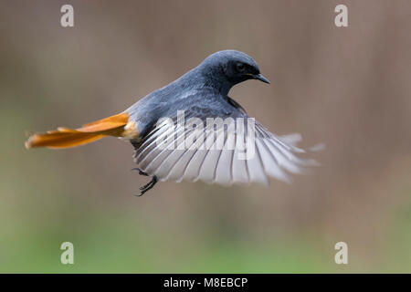 Zwarte Roodstaart; Black Redstart; Phoenicurus ochruros gibraltariensis - Stock Photo