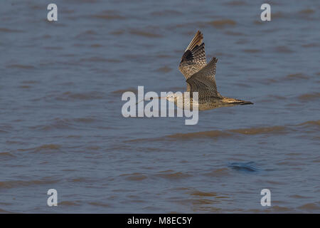 Siberische Wulp in de vlucht; Far Eastern Curlew in flight - Stock Photo