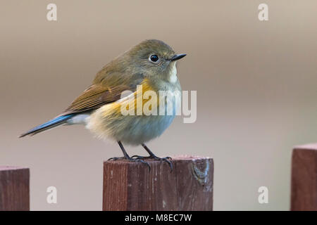 Vrouwtje Blauwstaart; Female Red-flanked Bluetail - Stock Photo